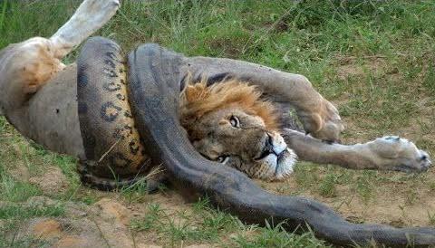 lion fighting python